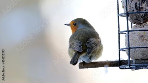 Fotografia Closeup of a robin redbreast perched next to a bird feeder