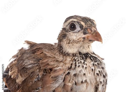 Obraz na plátně Red-legged partridge