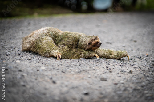 Fototapeta premium Close-up view of a sloth crossing a tropical path