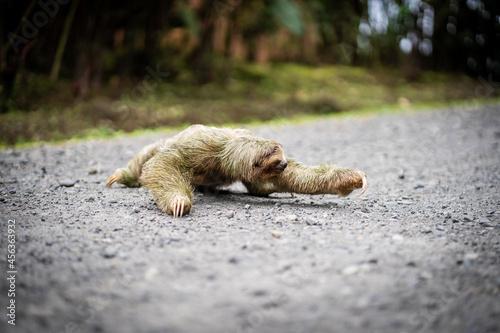 Fototapeta premium Selective focus on a sloth crossing a tropical path