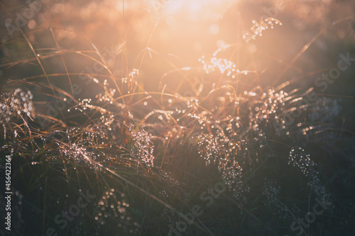 Tela Yellow autumn grass with morning dew at sunrise