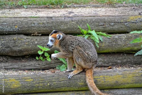 Fototapeta premium Close up of a brown Lemur