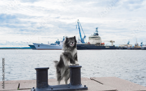 Canvastavla Keeshond stands on its hind legs, leaning its forepaws on the bollard against th