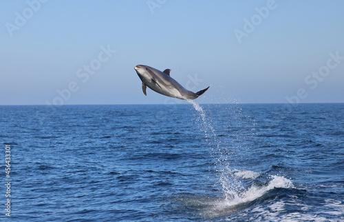 dolphin jumping, bottlenose flying Poster Mural XXL
