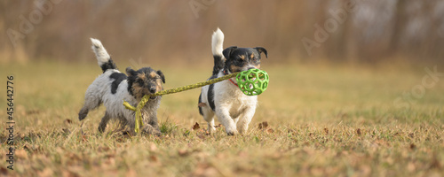 Fotografie, Obraz two cute little funny dirty jack russell terrier dogs are playing together on a