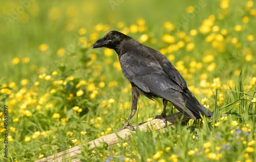 Fototapeta premium Raven ( Corvus corax ) close up
