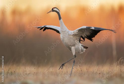 Fototapeta premium Common crane birds ( Grus grus )