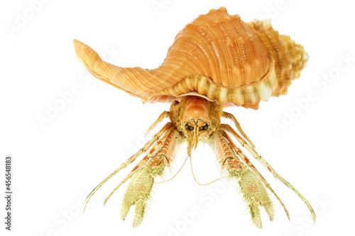 Fototapeta hermit crab (dardanus sp