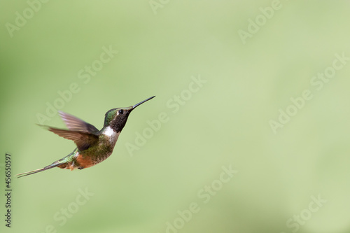 Fototapeta premium Selective focus of a flying hummingbird against a green blurry background