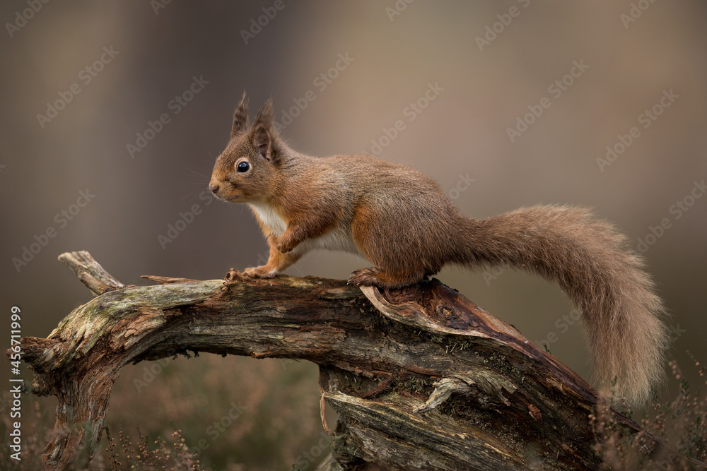 Red squirrel percehd on a log with a brown background.  Taken in the Cairngorms National Park, Scotland.