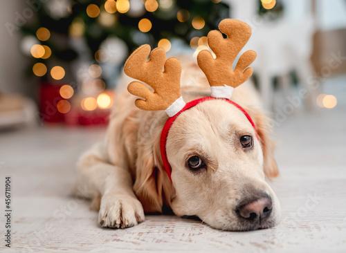 Obraz na plátně Golden retriever dog in Christmas time
