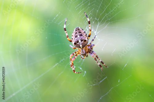 Billede på lærred common forest cross spider sitting on web, Araneus diadematus, Europe, Czech Rep