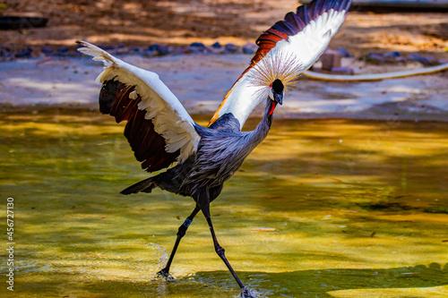 Obraz na plátně crowned crane flaps its wings