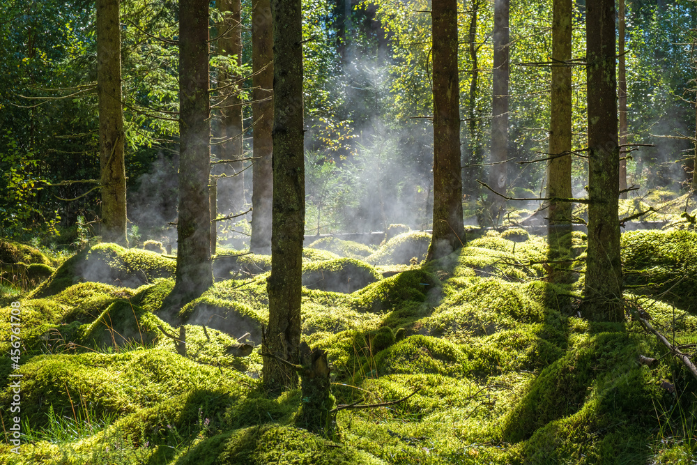 Misty morning in a mossy forest