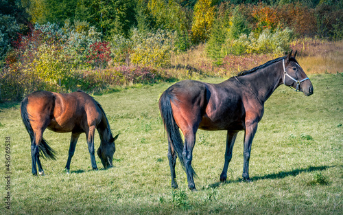 Fotomural Two Horses - Two horses enjoy a beautiful autumn's afternoon grazing on a field in rural Nova Scotia on Cape Breton Island