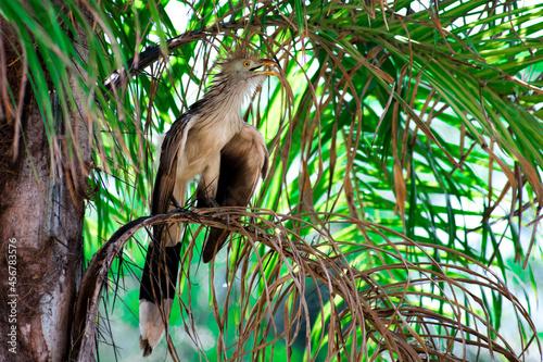 Fototapeta premium Pirincho Guira guira perched on a brench in a palm tree
