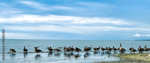 Fotografie, Obraz A gaggle or flock of geese standing at water's edge