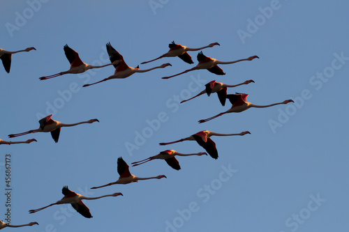 Greater Flamingo Phoenicopterus roseus from Camargue, southern France Fototapete