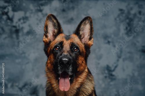 Fotografija Headshot of purebred german shepherd against dark background