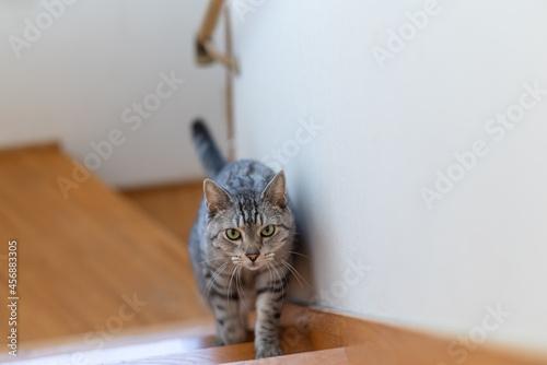 Fotografia 階段を上ってくる猫 サバトラ猫
