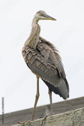 Fototapeta premium Majestic grey heron - a long-legged predatory wading bird