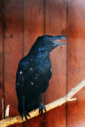Fototapeta premium black raven sitting on a branch. High quality photo