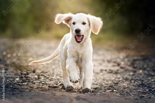 Fototapeta golden retriever dog lovely portrait of a cute puppy magic light sunset pet phot