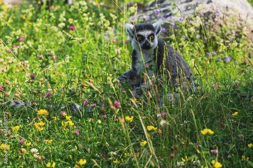 Fototapeta premium Lemur in flowers