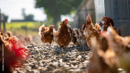Foto Élevage de poules ou poulet fermier en plein air.