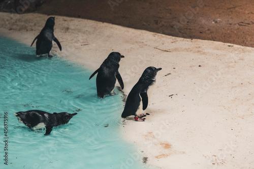 Fototapeta premium Bébé pingouin
