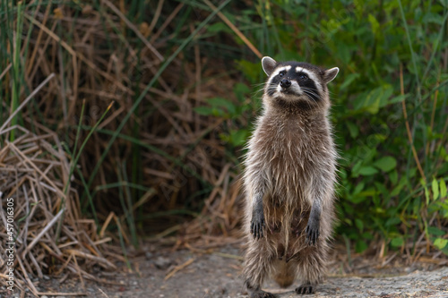 Fotografiet A cute raccoon standing on its hind legs, Fremont Central Park.