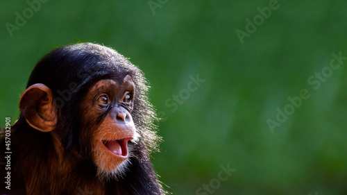 Photographie Close up portrait of a cute baby chimpanzee with a big happy smile