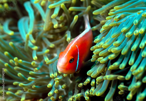 Billede på lærred Amphiprion perideraion also known as the pink skunk clownfish or pink anemonefish