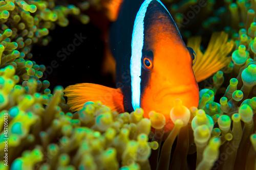 Fotografering clownfish Okinawa