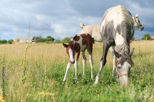 Foto Horse chils and mother horse her beautiful foal on a field