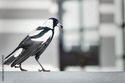 Obraz na plátně A male Australian magpie caught a worm in its beak in the backyard