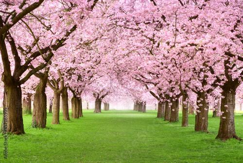 Gourgeous cherry trees in full blossom Fototapet