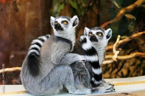Fototapeta premium Two lemur sitting on the Grass in the forest
