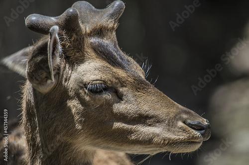 Fototapeta premium Small deer grazing in a green meadow