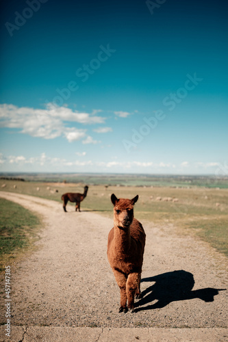 Fototapeta premium Alpacas on the road with the field in the background