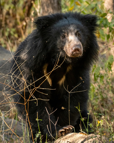 Fototapeta premium sloth bear or Melursus ursinus portrait in natural green background an aggressive animal from wild during outdoor wildlife safari at forest of central india