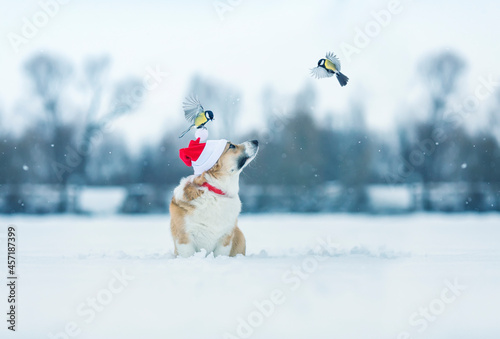 Fotografie, Obraz festive christmas card with a dog in red santa's hat looks at the birds of tits
