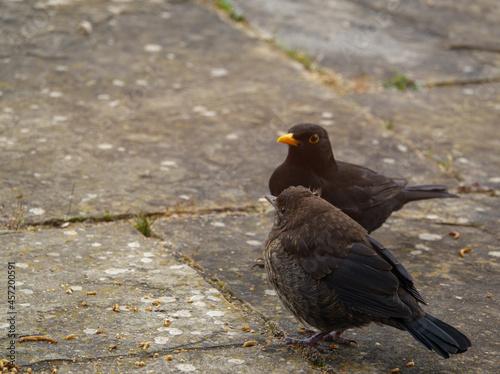 Fototapeta premium a male father blackbird (turdus merula) chaperones his fledgling blackbird offspring