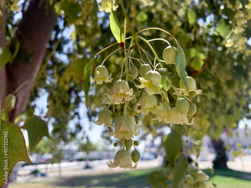 Fototapeta Brachychiton poplar or variegated (Brachychiton populneus)