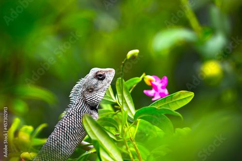 Obraz na plátně The oriental garden lizard, eastern garden lizard, bloodsucker or changeable liz