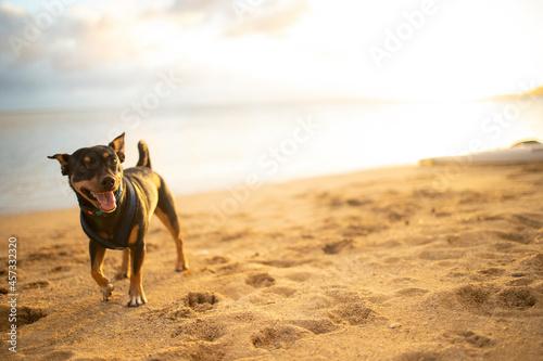 Canvastavla Happy dog walking along the beach in Hawaii