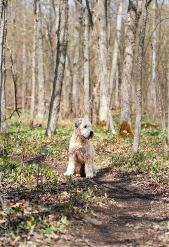 Fluffy dog sitting on a path through the woods on spring day.