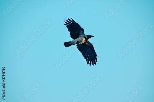 Fototapeta premium eagle in flight