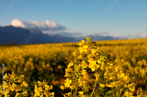 Closeup of yellow flower in countryside landscape with cloudless sky