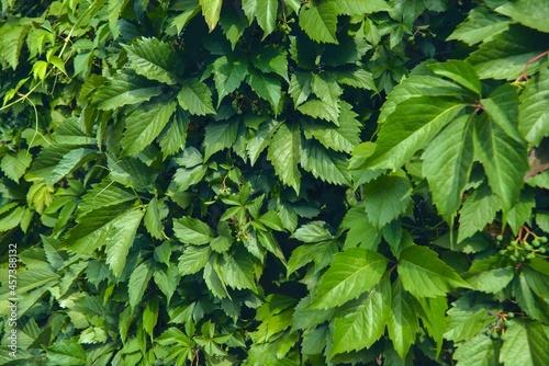 Obraz na plátně Virginia creeper Parthenocissus Quinquefolia green leaves covering a wall close-up